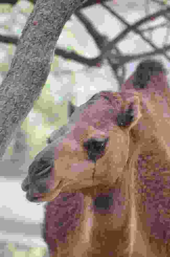 Camel encounters (Phoebe Smith)