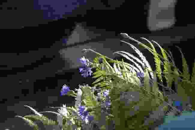 Fern blossoms in Latvia, for celebrating the summer solstice (Shutterstock)
