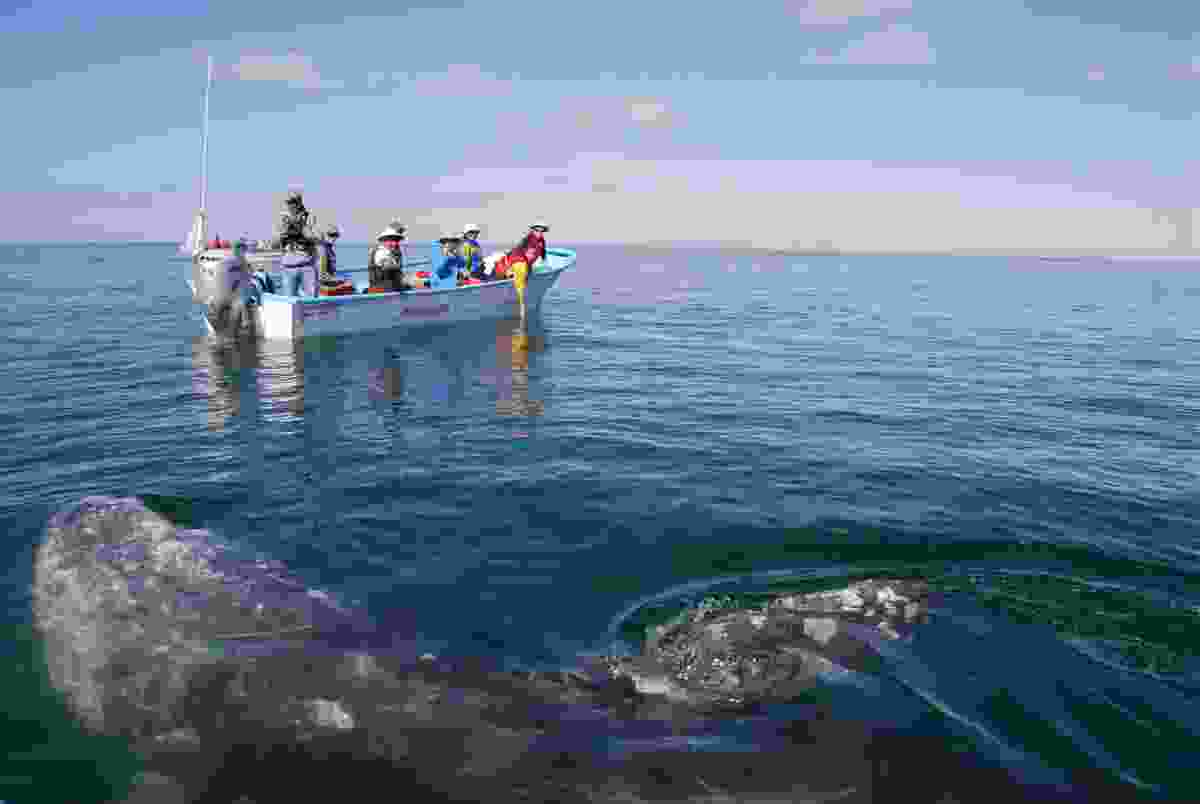 Gray whale near boat in Baja California (Dreamstime)