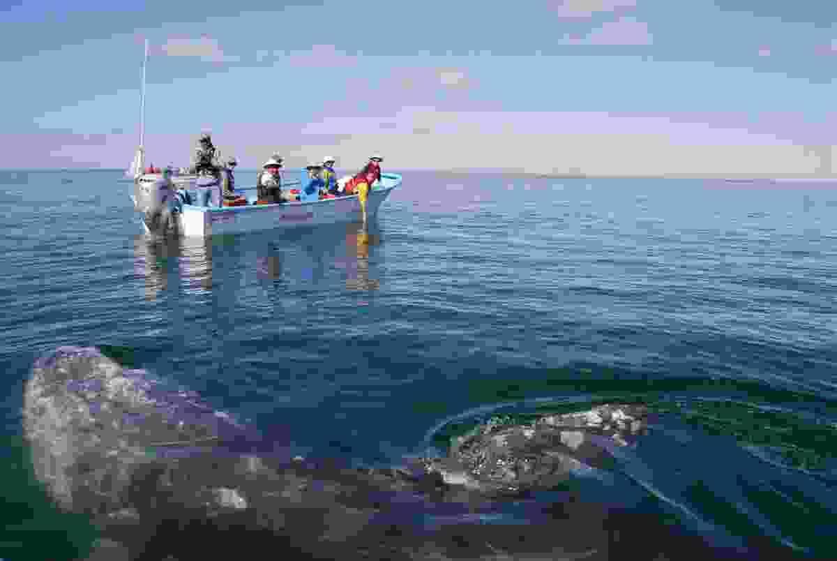 Gray whale near boat in Baja California (Dreamstime)