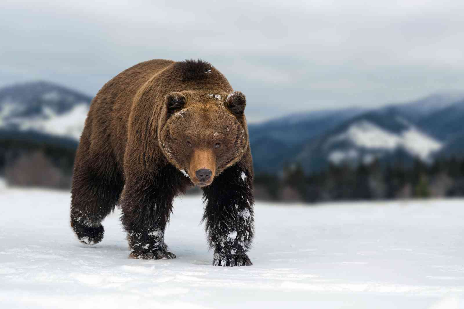 A grizzly bear in the snow (Shutterstock)
