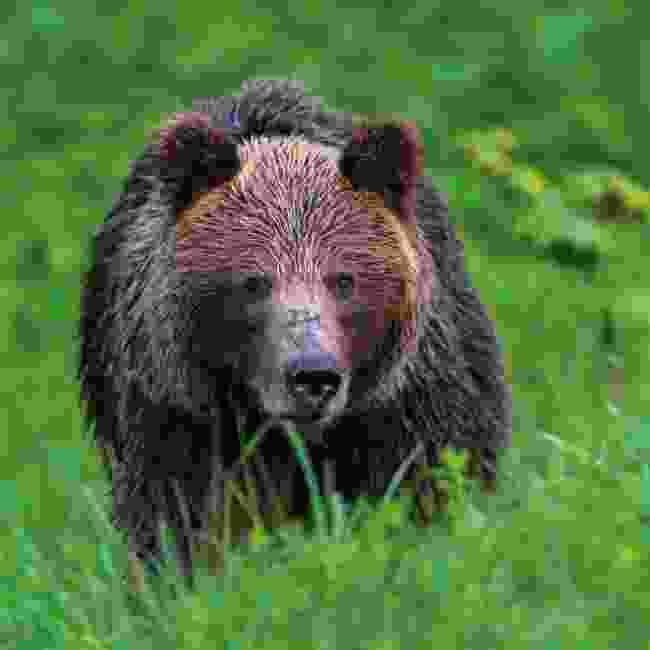 brown bears roam the High Tatras National Park (Shutterstock)