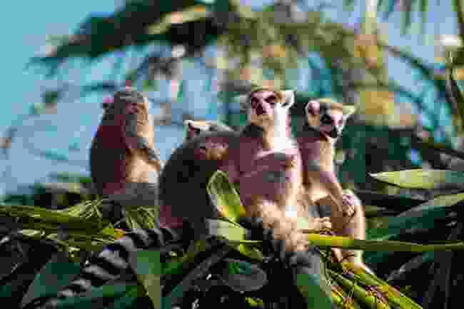 Lemur Catta in Madagascar (Shutterstock)