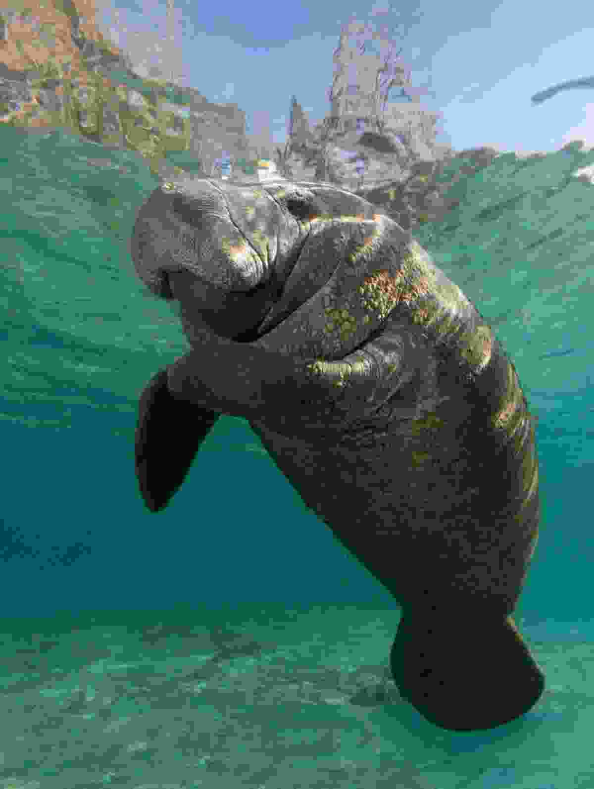 Manatees might be gentle - but they're also huge. Gentle giants (Shutterstock)