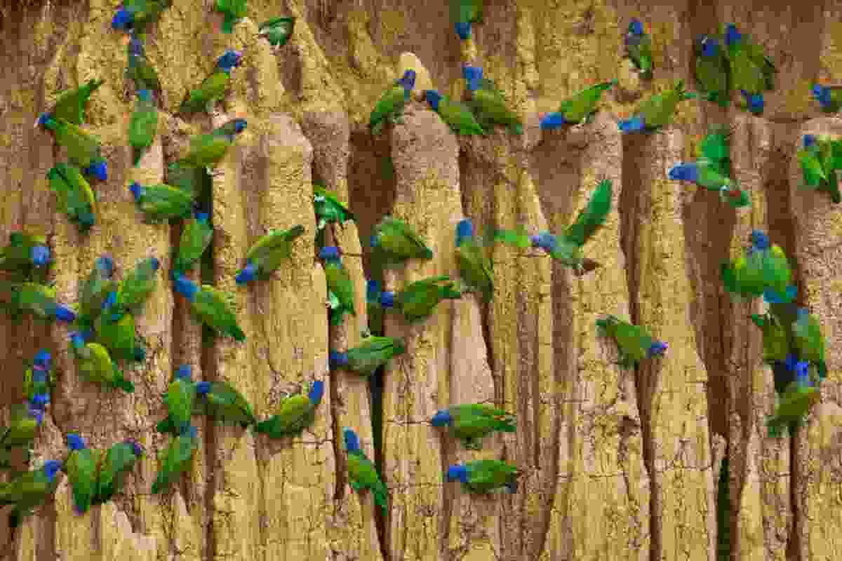 Blue-headed parrots, Manú National Park, Peru (Art Wolfe)