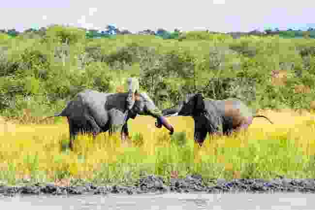 Elephants in Chobe National Park, Botswana (Shutterstock)