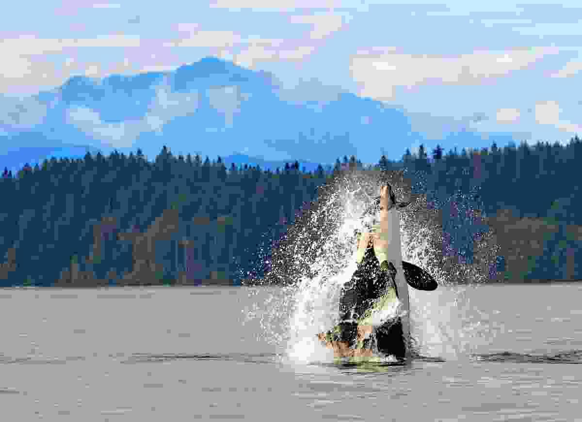 An orca near the coast of British Columbia, Canada (Shutterstock)