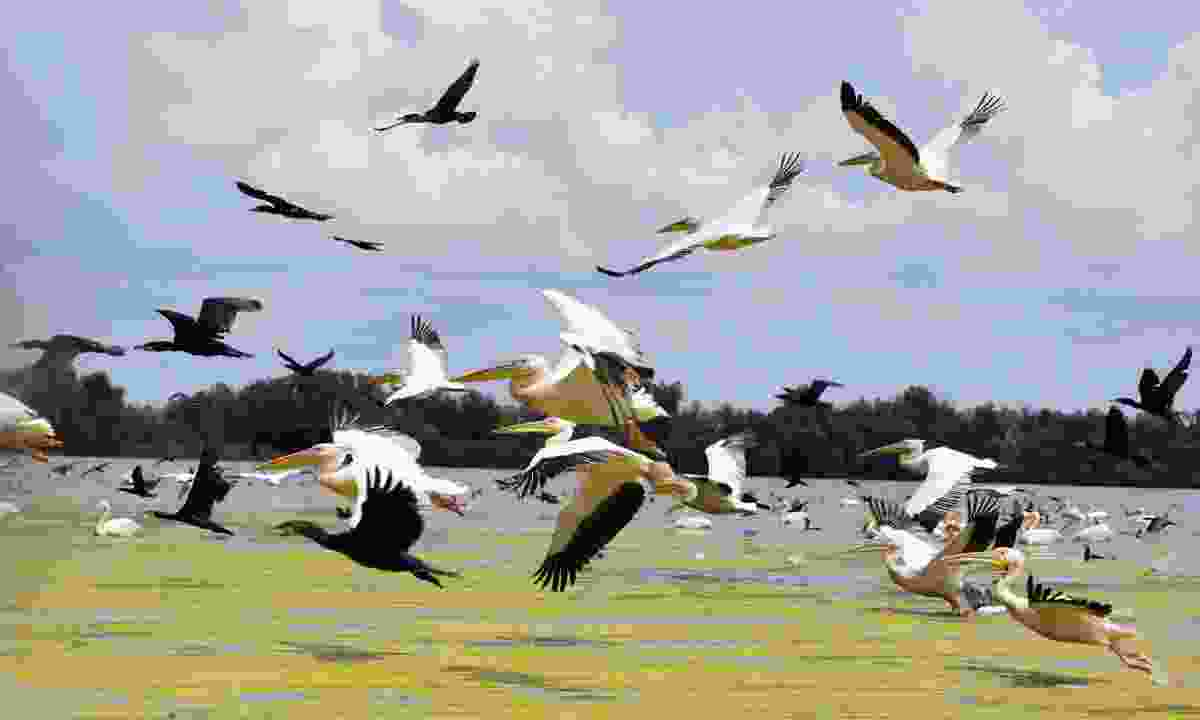 Pelicans fly over the Danube (Dreamstime)