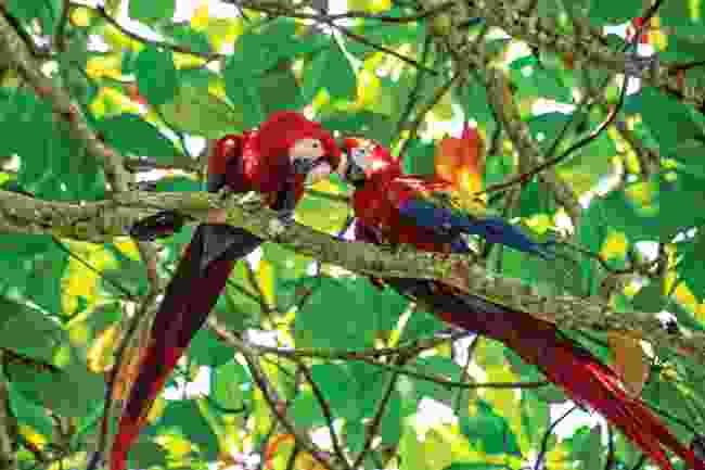 River Tarcoles macaws (Mark Stretton)