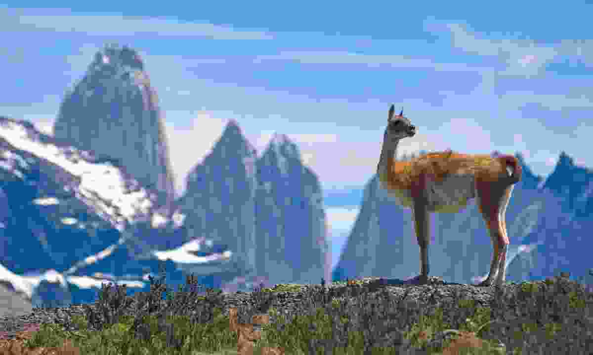 A guanaco in front of Torres del Paine (Shutterstock)
