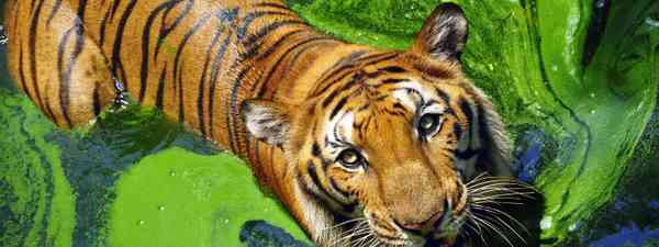 Portrait of a Bengal tiger (Shutterstock)