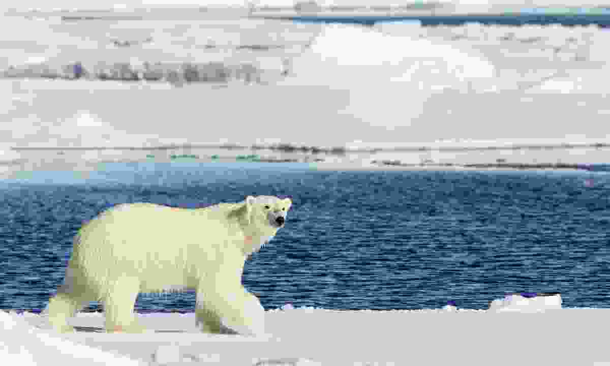 Get up close to the most impressive species, such as polar bear in Svalbard (Shutterstock)