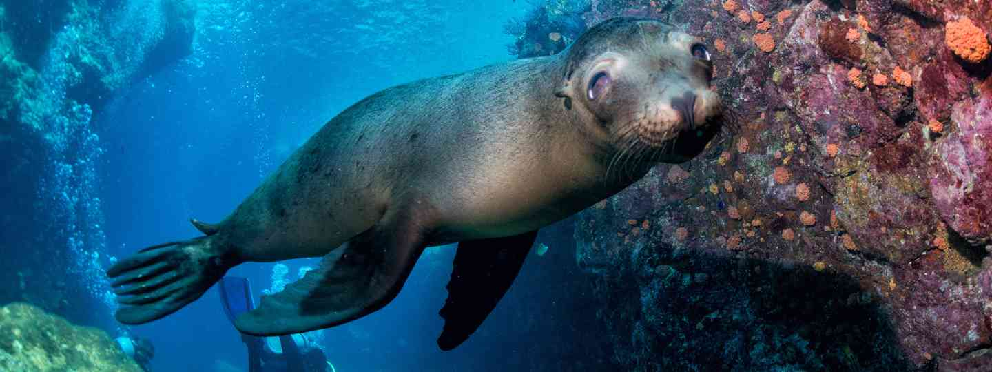 Sea lion underwater (Shutterstock)