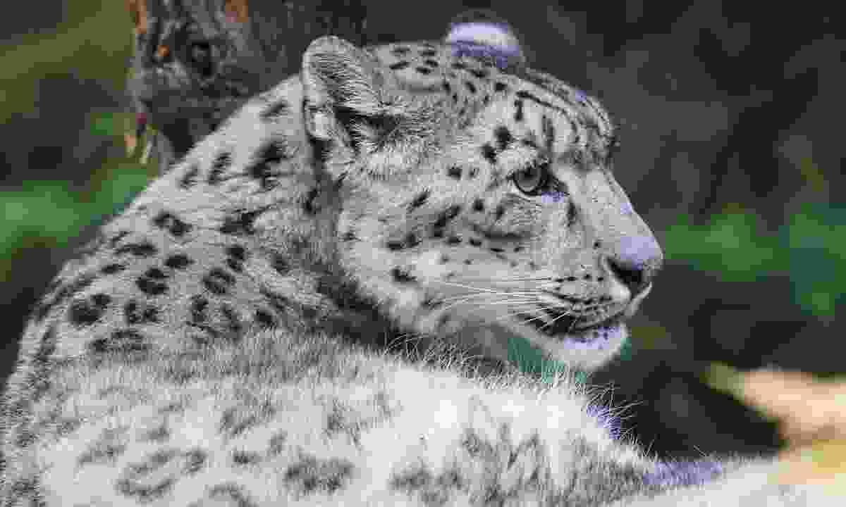 A snow leopard in India (Shutterstock)