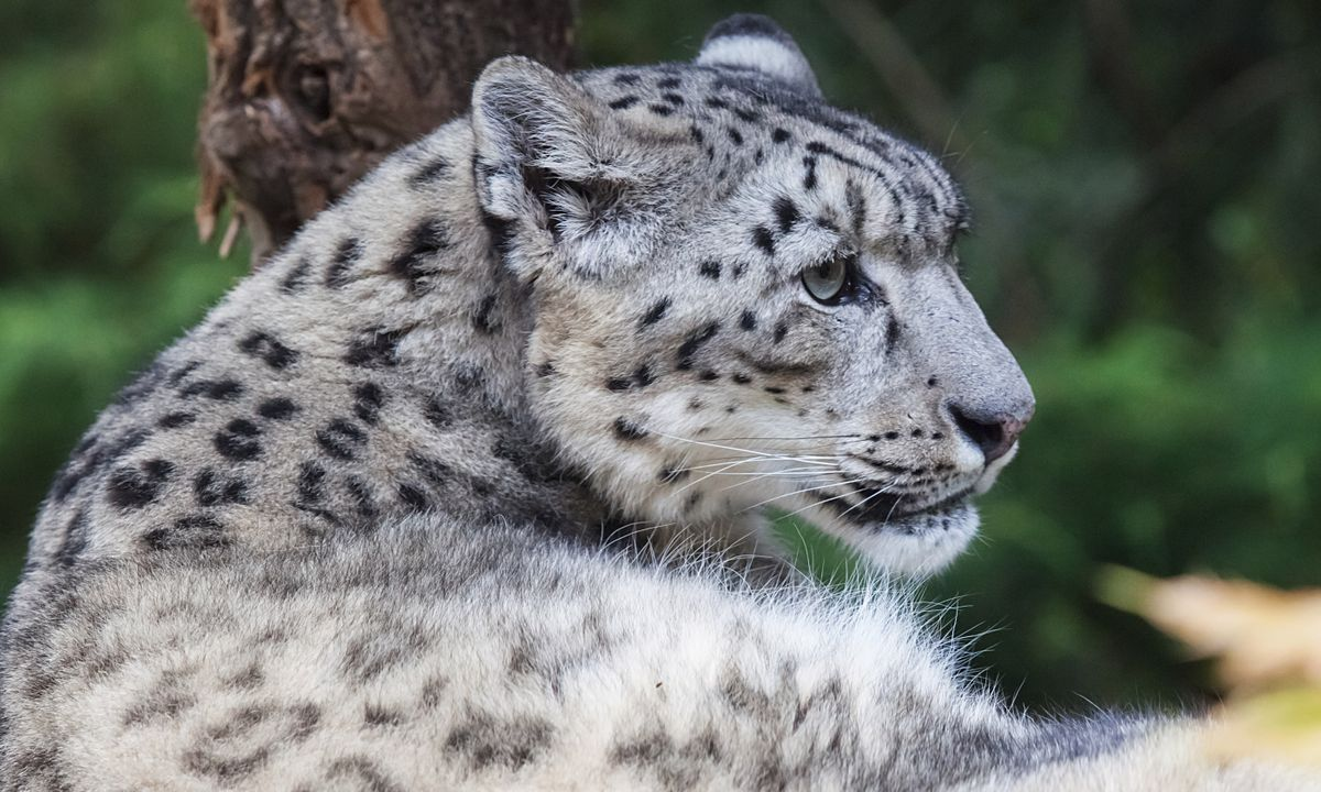 A snow leopard in India (Shutterstock)