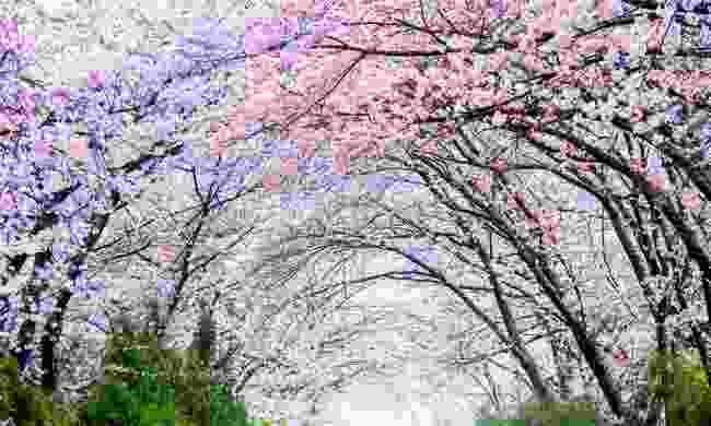 Cherry blossom in Seoul, South Korea  (Shutterstock)