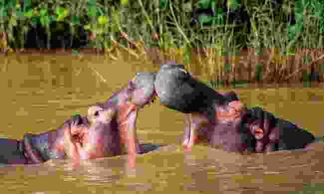 Hippo encounters are guaranteed in iSimangaliso Wetland Park, KwaZulu-Natal (Shutterstock)