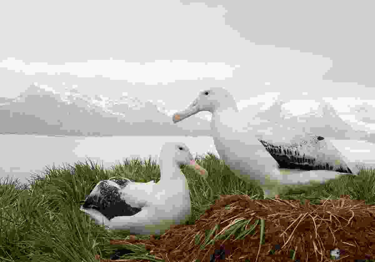 Two albatross on South Georgia Island (Shutterstock)