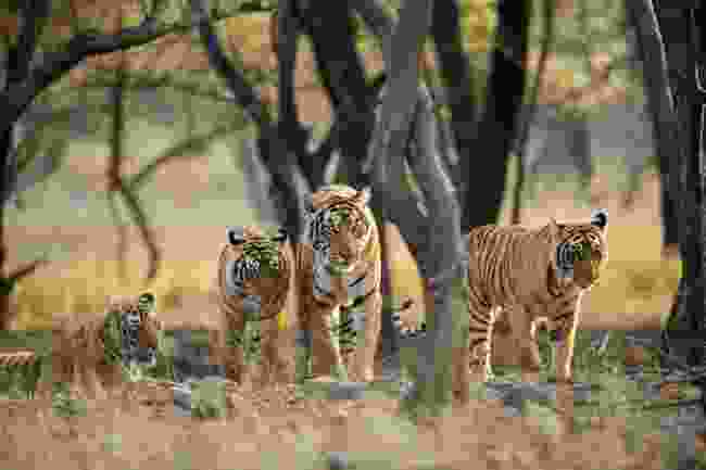 Saw a tiger on your trip? What did you have to say about it? (Shutterstock)
