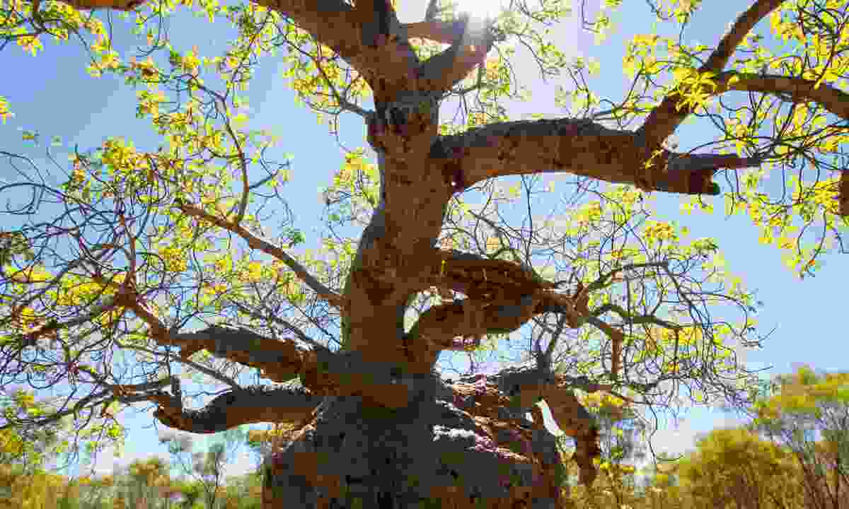 The Prison Boab Tree - Once used to keep abducted aboriginal people from running away (Phoebe Smith)