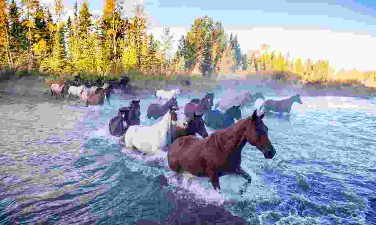 Horses crossing river in Alberta (Dreamstime)