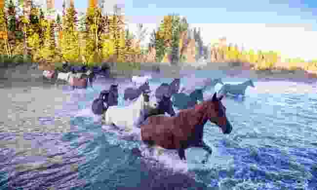 Horses crossing river in Alberta (Dreamstime)