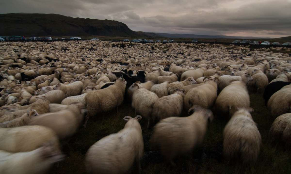 Rounding up sheep in Iceland (Shutterstock.com)