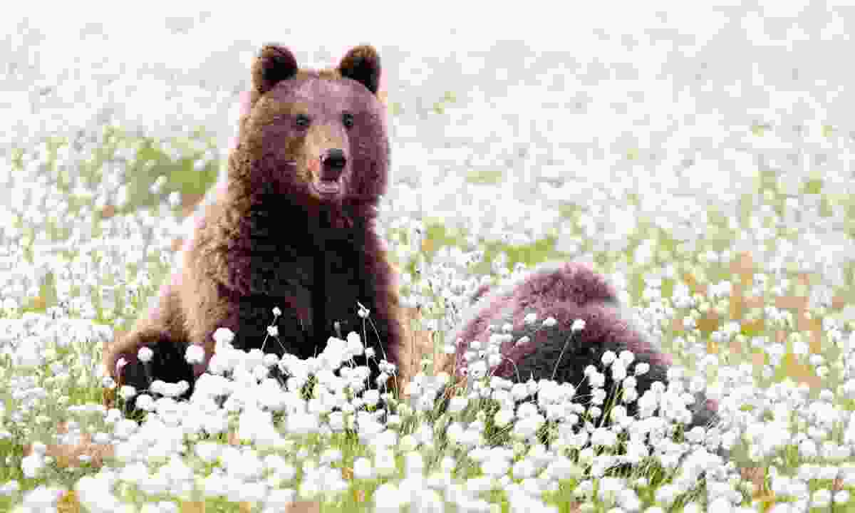 Brown bears in Finnish Lakeland (Danny Laredo)