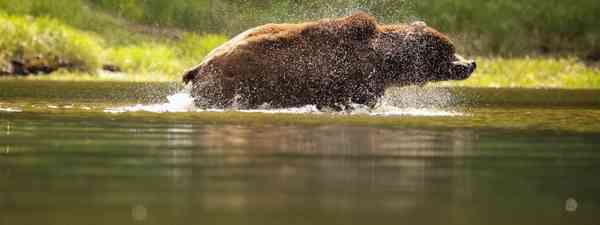 A swimming bear shakes of the water in Khutzeymateen, Canada (Phoebe Smith)