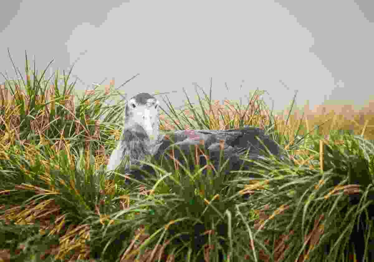 An albatross chick in its nest on South Georgia Island (Shutterstock)