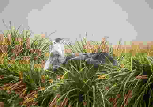 An albatross chick in its nest on South Georgia Island (Shutterstock)