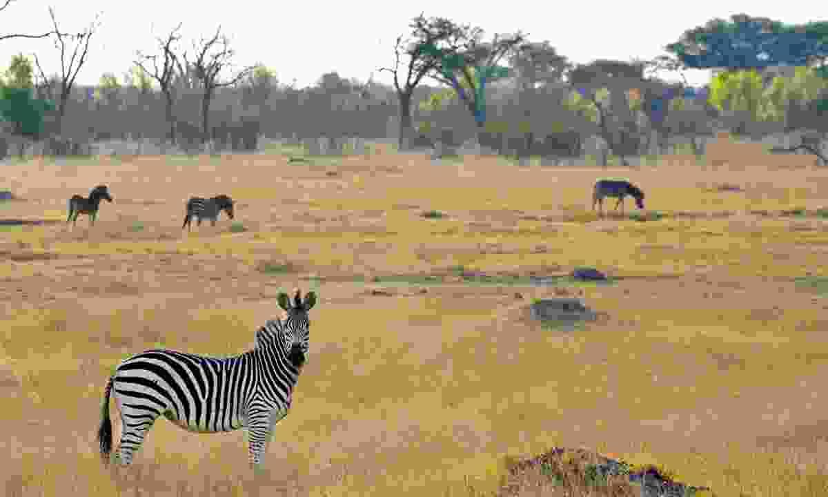 Zebras roam in Hwange National Park (Mark Eveleigh)