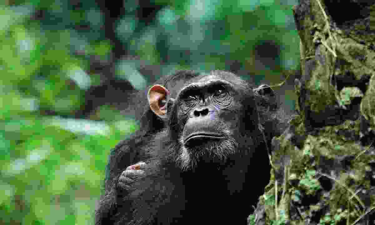 Chimpanzee (Dreamstime)