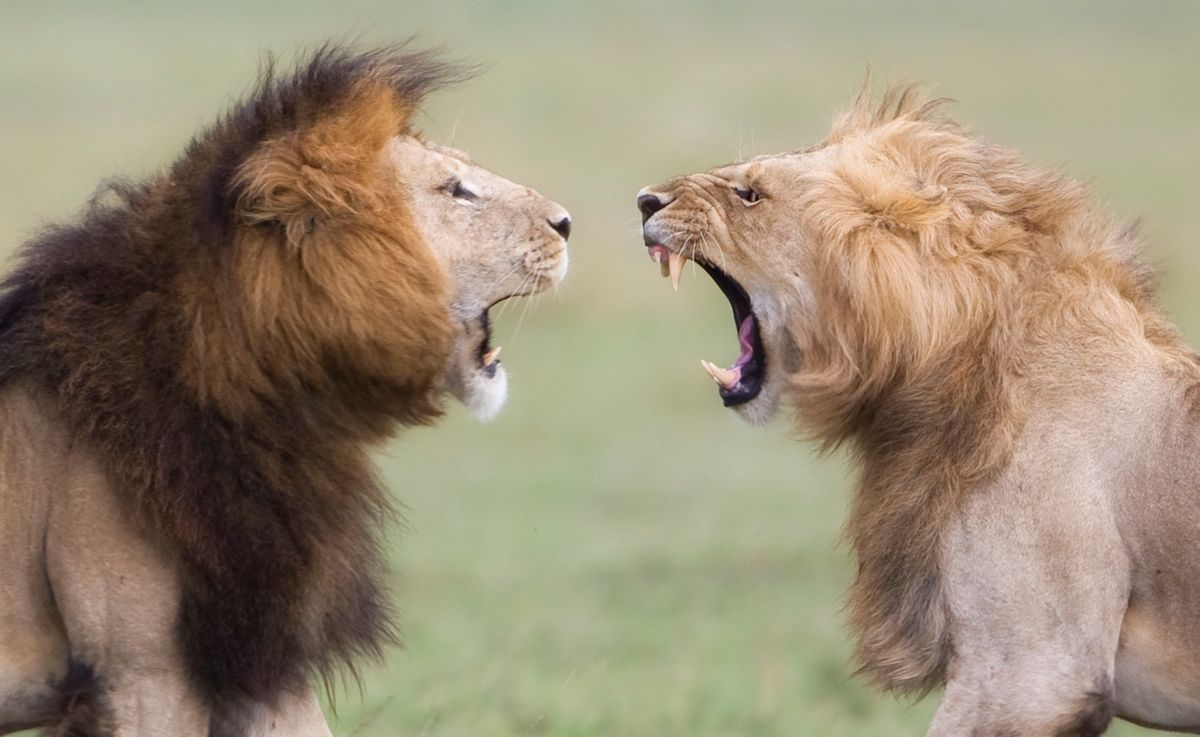 Lions facing off on the Maasai Mara, Kenya (Angela Scott)