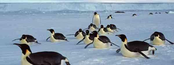 Emperor penguins (British Antarctic Survey)