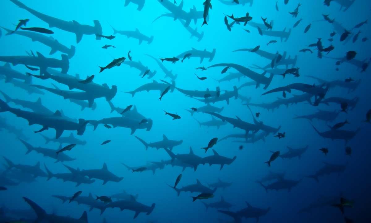 School of hammerhead sharks near Darwin's Arch (Dreamstime)