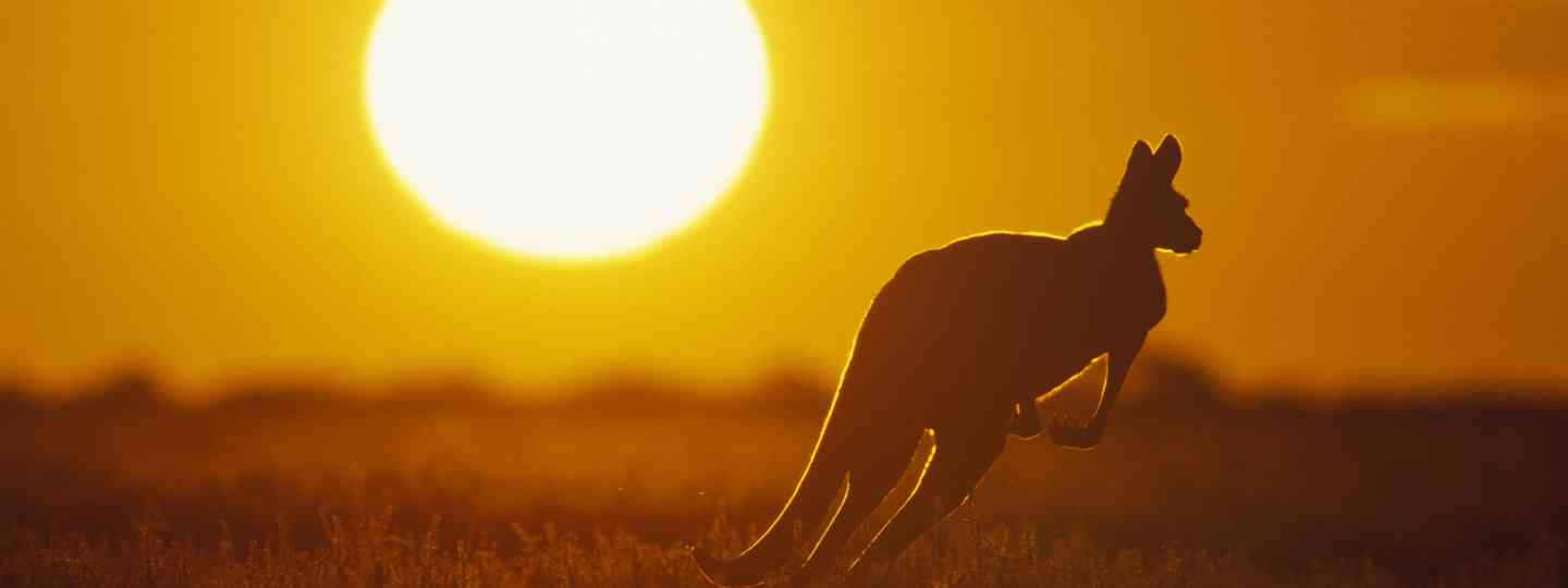 A kangaroo hopping off into the sunset (Dreamstime)