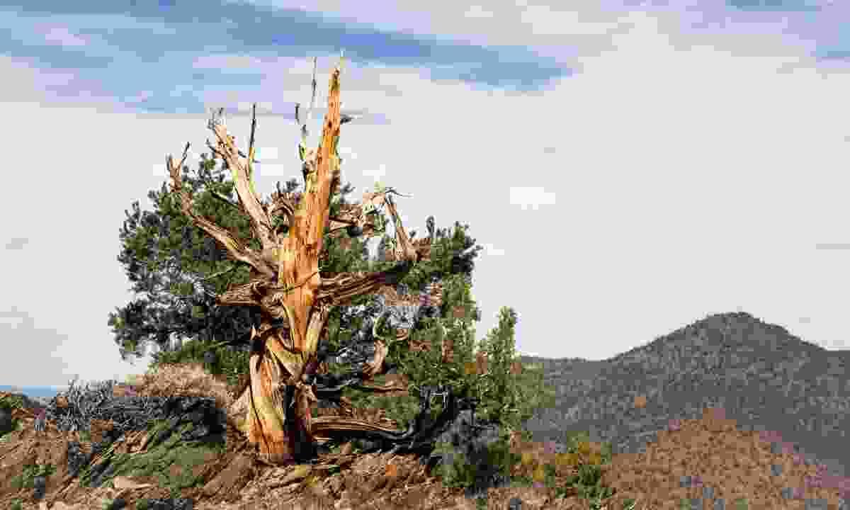 A tree like Methuselah (Dreamstime)