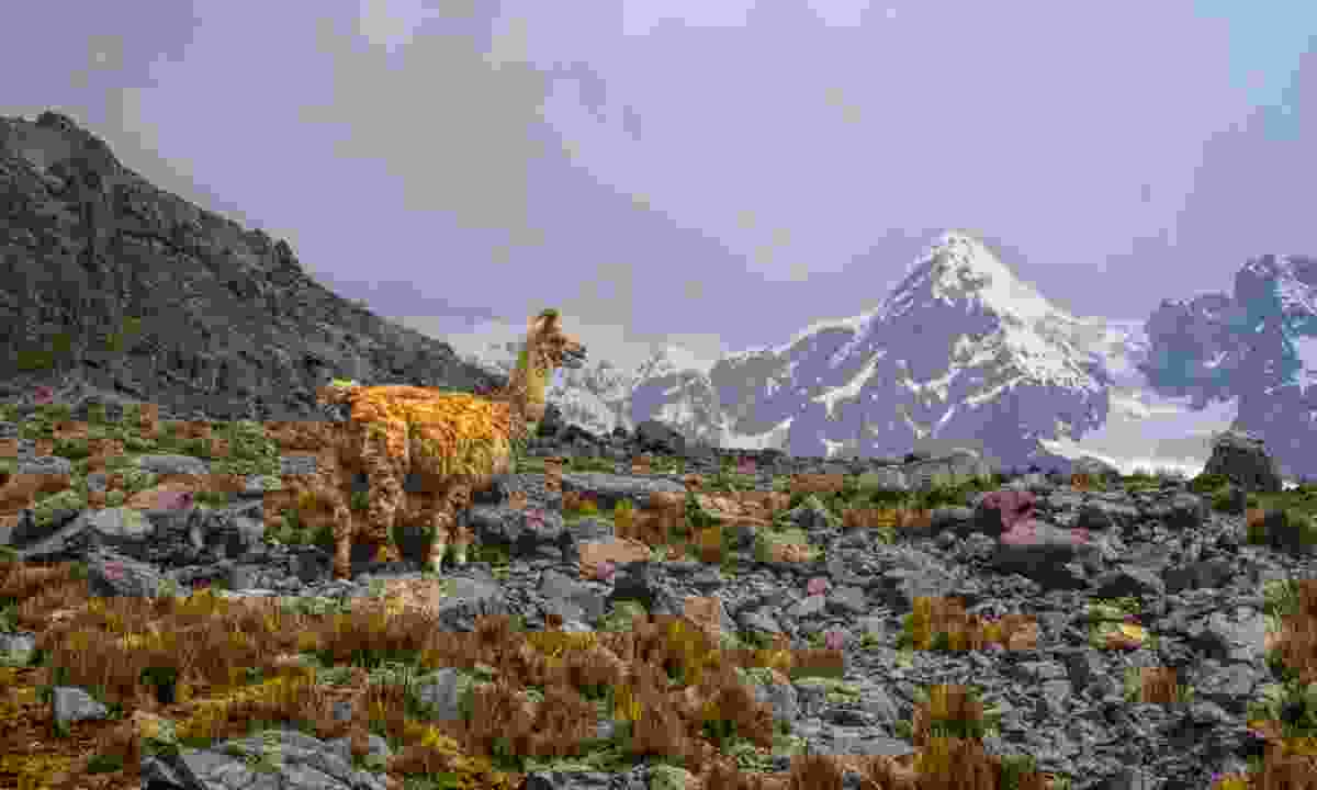 Llama in high altitudes near Ausangate (Dreamstime)