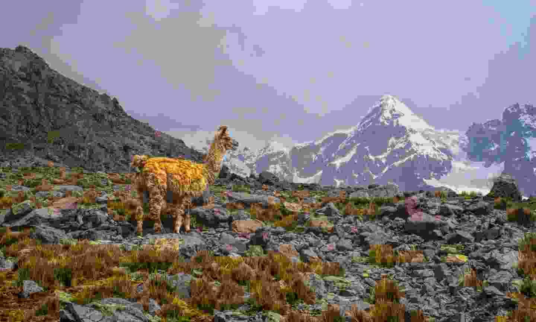 Llama in high altitudes near Ausangate (Dreamstime)