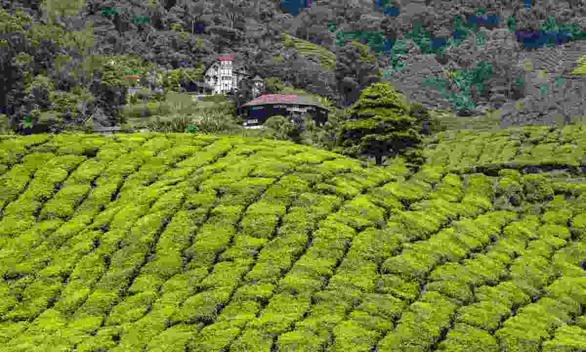 Tea plantation in the Cameron Highlands (Dreamstime)