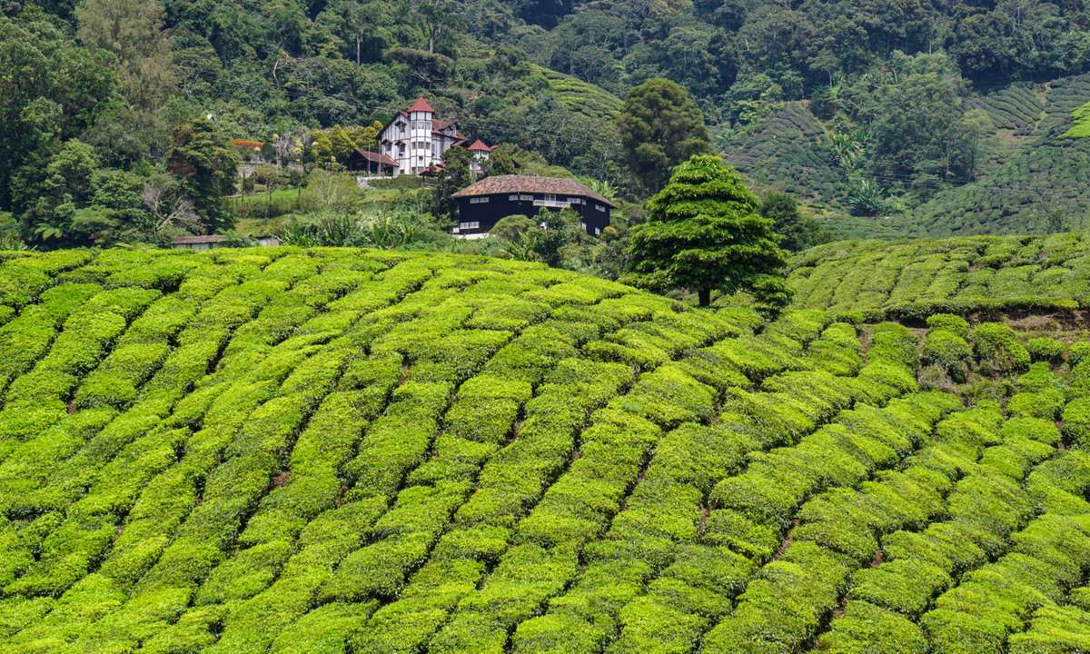 Tea plantation in the Cameron Highlands (Dreamstime)
