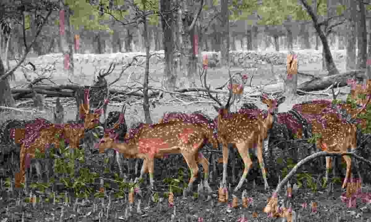 Spotted deer in the Sundarbans National Park (Dreamstime)