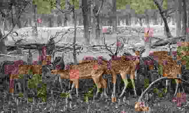 Spotted deer in the Sundarbans National Park (Dreamstime)