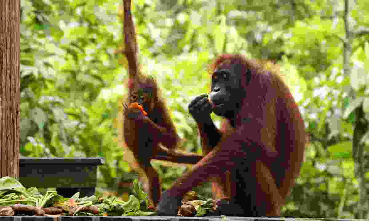 Mother and young orang-utan in Borneo (Dreamstime)