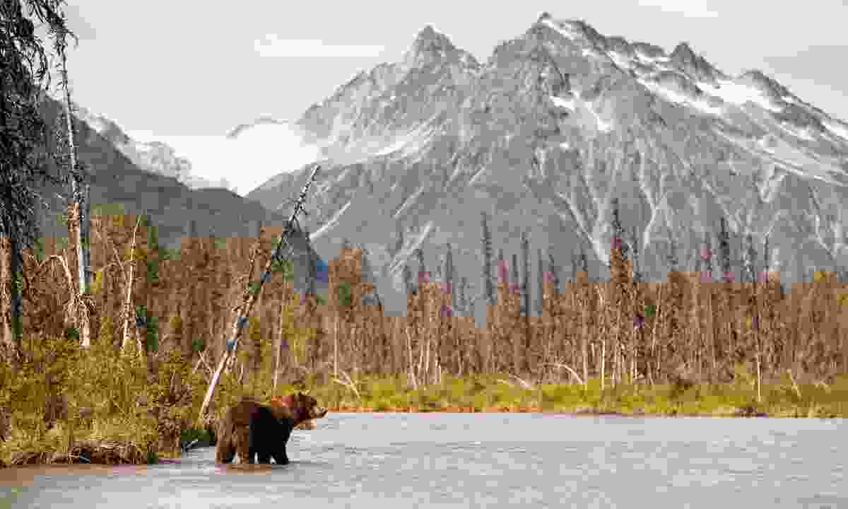 A Brown Bear hunting for fish in Alaska (Shutterstock)