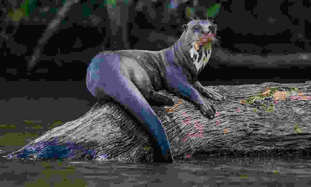 Giant otter standing on log in French Guiana (Shutterstock)