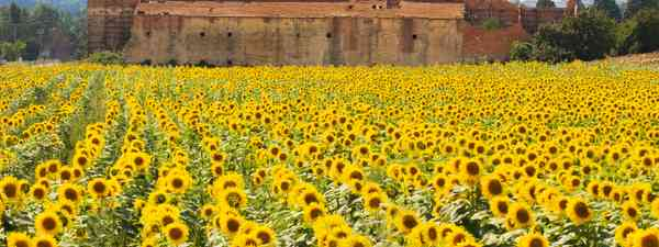 A field of sunflowers in Tuscany (Shutterstock)