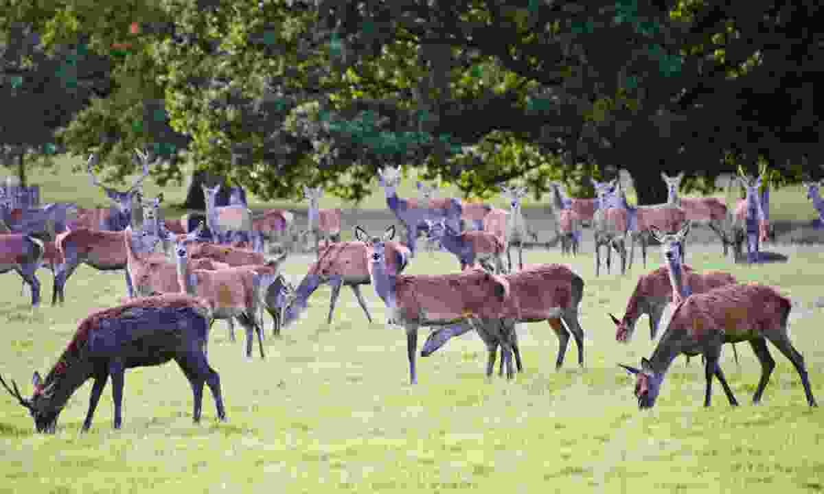 Windsor Deer Park (Dreamstime)