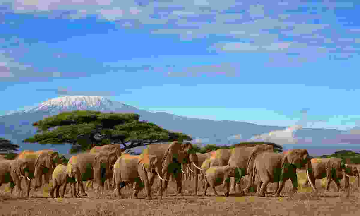 Elephants roam in the national park with Mt Kilimanjaro in the distance (Dreamstime)